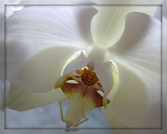 Valentine Orchid _ Explore #235 (dart5150) Tags: white orchid flower phalaenopsis picnik happyvalentinesday vosplusbellesphotos welovealmostallofyou