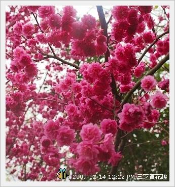 20090214三芝賞花趣 (13)