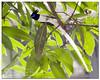 """Asian paradise-flycatcher {Terpsiphone paradisi} (- Ariful H Bhuiyan -) Tags: bird asian paradise south safari ttl ru flycatcher rajshahi paradiseflycatcher terpsiphone rajshahiuniversity pakhi terpsiphoneparadisi nawabganj chapai paradise"""" ttlsafari dudhraj shahbulbuli shabulbuli dudraj ttlsafari6"""