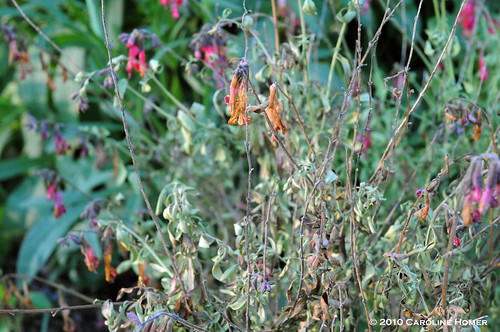 Dying autumn sage