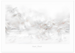 Snowy Poetry (Imapix) Tags: bird nature animal geese flight oiseau snowgeese envol gaetanbourque oiesblanches