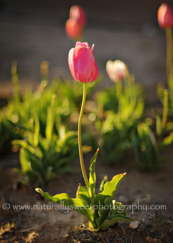 tulip 1 rs