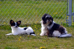 Maxx and Muffin (Pappup2010) Tags: dog pet white black color cute animal butterfly puppy toy small shihtzu tan canine papillon tricolor pup breed tri pap toybreed butterflydog