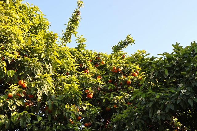 Rome. Orange trees
