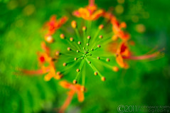 Krishnochura  / Dwarf Poinciana (Caesalpinia pulcherrima) / The crown of Lord Krishna (Neerod [ www.colorandlightphotography.com ]) Tags: flower green pattern dwarf geometry crown buds burst krishna lordkrishna dwarfpoinciana caesalpiniapulcherrima krishnochura  poincian