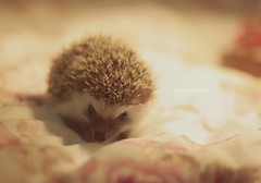 (annemiranda-) Tags: animal canon mammal hedgehog topanga hedgehogs