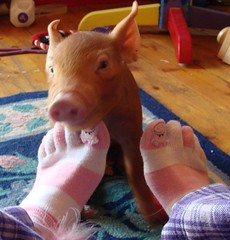 Real piggy and piggy toe socks (LisaNH) Tags: heritage piggy pig outdoor farm nh slowfood piglet hog minerva humane toesocks tamworth myeverydaylife pastured grassfed albc mackhillfarm futab humanelyraised growfood arkoftaste
