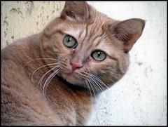 Pupina (•:• panti •:•) Tags: occhi sguardo rosso gatto picnik pelo micio verdi baffi orecchie sfida photoamatori