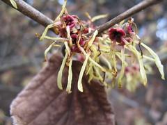 witch-hazel (Brooklyn Botanic Garden) Tags: bbg brooklynbotanicgarden earlyspring photographermediblum