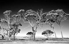 near wagin (dalinean) Tags: bw tree contrast bush sigma australia tres outback sd10 westaustralia reworked wagin treesubject