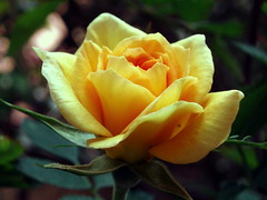 rosa amarilla (jacilluch) Tags: flower rose yellow flor blossoms rosa amarillo breathtaking dazzling naturesfinest arosebyanyothername excellenceinfloralphotography bloomingflowers florayfauna flickrsbest flowerlovers 100comments fantasticflower masterphotos languageofflowers irresistiblebeauty flowerpicturesnolimits citrit excellentphotographerawards thenaturesfinest allfromatoz excellentsflowers mymagicyellowdress astonishingflowers flickrsexquisiteshots natureselegantshots spiritofphotography llovemypics bestofflickrsbest thetheboldflower 100earthcomments