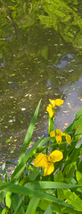 In memorium - Duke Display Gardens (nrmorris9) Tags: iris flower canal destroyed dukegardens dorisduke ddcf savedukegardens dorisdukecharitablefoundation joanesperopresident nannerlokeohanechair johnjmackvicechair harrybdemopoulos anthonysfauci jamesfgill annehawley peteranadosy williamhschlesinger johnhtwilson johnezuccotti