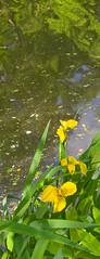 In memorium - Duke Display Gardens (nrmorris9) Tags: iris flower canal destroyed dukegardens dorisduke ddcf savedukegardens dorisdukecharitablefoundation joanesperopresident nannerlokeohanechair johnjmackvicechair harrybdemopoulos anthonysfauci jamesfgill annehawley peteranadosy williamhschlesinger johnhtwilson johnezuccotti