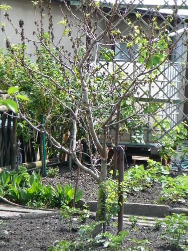Nachbars Pfirsich