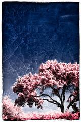 Memories of the Bloom (Rick Stemmler) Tags: trees ontario canada texture photoshop spring hamilton lightroom hfg samlawrencepark stemmler fauxinfrared rickstemmler colourartaward jediphotographer