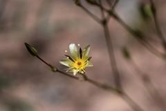 Eremogone kingii (desert sandwort) (travelingwild) Tags: colorado sandwort desertsandwort eremogone eremogonekingii