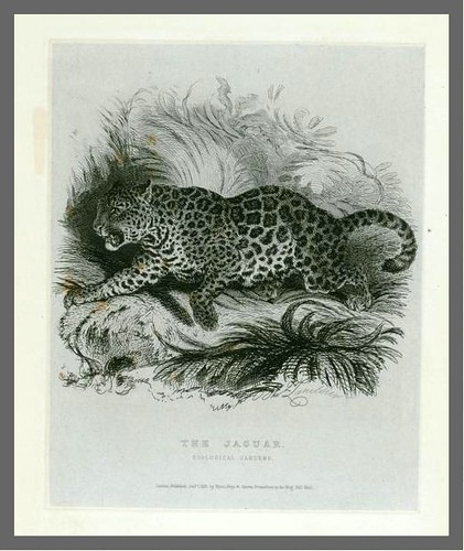 The Jaguar