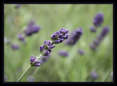 lavender.. (~pauline sirks ~) Tags: flower macro nature garden dof purple lavender naturesfinest digitalrebelxsi