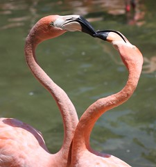 Flamingo Love (San Diego Shooter) Tags: california wallpaper love animal animals zoo heart sandiego flamingo flamingos explore sandiegozoo phoenicopterusruber desktopwallpaper zoos interestingness500 explored i500 incrediblenature cyspecialchallenge2nd animalwallpaper 3wayassignment74 nathanexplore animaldesktopwallpaper sandiegowallpaper sandiegodesktopwallpaper