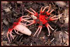 Aseroe rubra - Starfish Fungus (Black Diamond Images) Tags: june rainforest fungi explore fungus nsw stinkhorn stinkhorns aseroerubra hallidayspoint phallaceae australianrainforest aseroe arfp starfishfungus australianfungi australianrainforests blackdiamondimages australianrainforestplants fungiaustralia rnrfgdb arffungi nswrfp australiafungi fungiofaustralia redarffungi rnrfgdbarfp