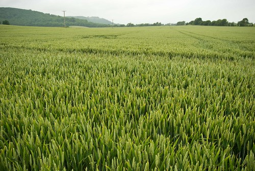 Wheat Fields, South Downs