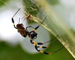 shelob4 (sundero) Tags: spider arachnid gumbolimbo blueribbonwinner bananaspider goldensilkspider spiderlove specnature abigfave diamondclassphotographer flickrdiamond overtheexcellence ahqmacro