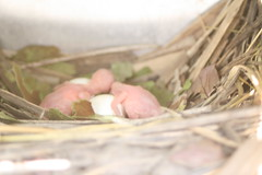 Purple Martin Hatchlings!
