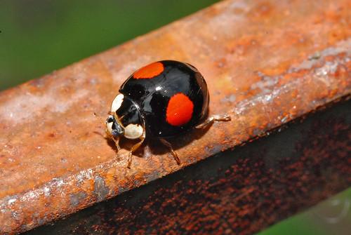 Marienkäfer ladybug 080637 025