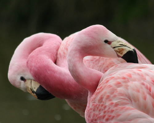 Two more flightless flamingoes