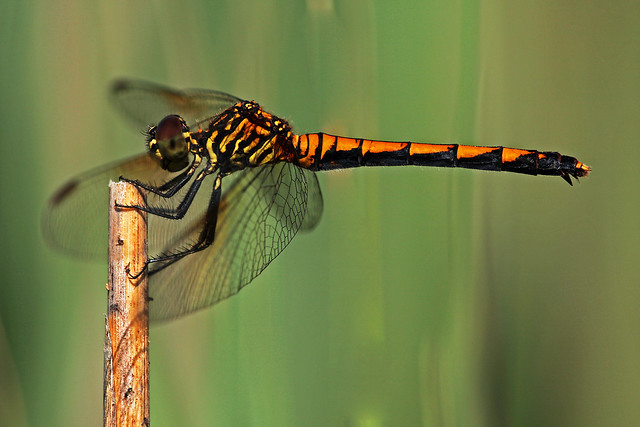 Seaside Dragonlet (Erythrodiplax berenice) female Spotted Form