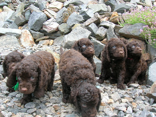 Six American Water Spaniel puppies playing in the moutains