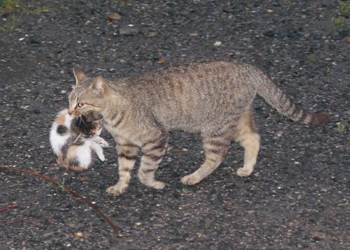 子猫をくわえたネコよ