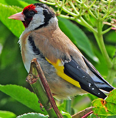 european goldfinch (earlyalan90 away awhile) Tags: naturesfinest golddragon platinumphoto avianexcellence diamondclassphotographer flickrdiamond vosplusbellesphotos