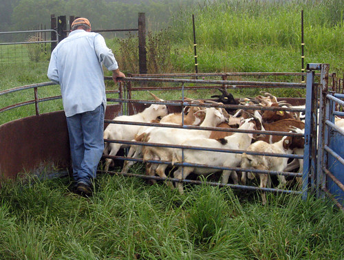 Jeff Semler works the goats in the handling system