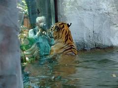 panthera tigris altaica (Joachim S. Mller) Tags: water animal swimming swim cat germany mammal deutschland zoo wasser tiger saxony leipzig sachsen katze siberiantiger kamera tier pantheratigrisaltaic