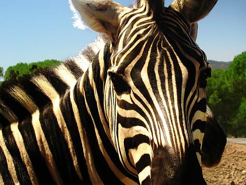 Zebra O Cebra Yahoo Cebra  Zebra