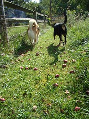 dogs apples