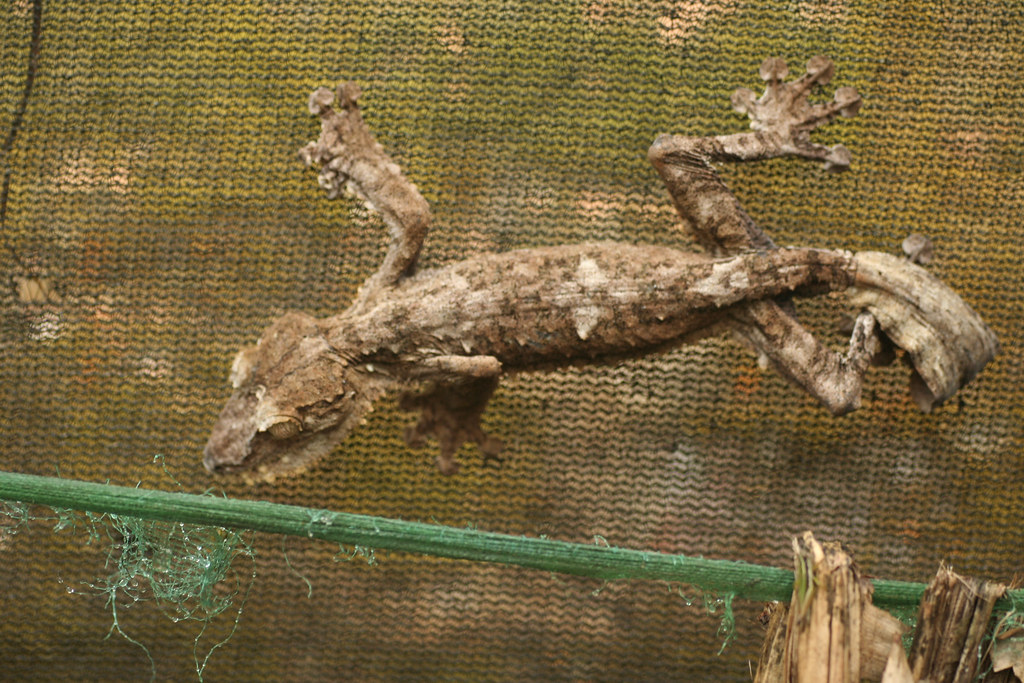 Giant leaf-tail gecko / reuzenbladstaartgekko (Uroplatus fimbriatus) - Exotic Reserve Peyrieras, Madagascar