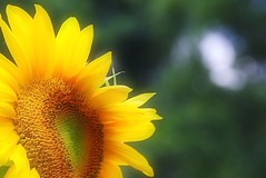 sunflower shine (jay j wilkie) Tags: summer sunlight flower green nature yellow petals glow bokeh awesome blossoms seeds sunflower bloom sunkissed blooming