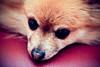 Pihenős Lujzi (Balázs B.) Tags: dog pet dogs animal relax nose smalldog kutya pomeranian spitz canonef24105mmf4lisusm kutyus 40d