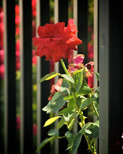 Roses and Wrought Iron