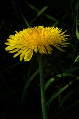 The famous Dandelion