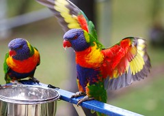 It's gonna be a fabulous day! (honeypestypie) Tags: birds rainbowlorikeets naturesfinest blueribbonwinner colorphotoaward avianexcellence theperfectphotographer natureselegantshots fantasticwildlife alittlebeauty