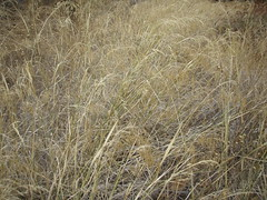 indian rice grass (Just a Pilgrim) Tags: losangeles 0810