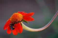 Swoosh (mark willocks) Tags: red arizona flower phoenix nikond50 thefarm mywinners colorphotoaward colourartaward upcoming:event=981998
