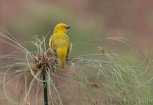 Holub's Golden-Weaver (Ploceus xanthops) by macronyx.