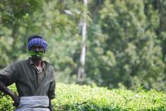 Solid Tea (RamN) Tags: leaves tea chai munnar silentvalley teapicker nikond40x ramaswamyn