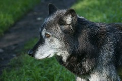 Grey Wolf (Zorro1968) Tags: canada art animal vancouver grey wolf sony artforsale grousemountain alpha700