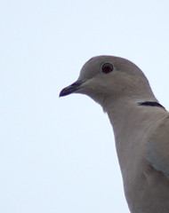 Up Close and Personal (David.Keith) Tags: pigeon canonrebelxt