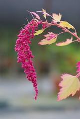 紅藜果穗。照片提供:林務局